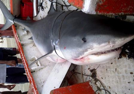 The 3.60m tiger shark caught on Friday
