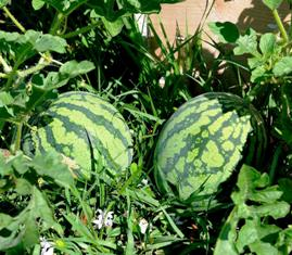 Watermelon is among the citrus fruit you can cultivate in your backyard garden
