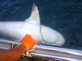 A 2.83m female bull shark turned on its back ready to be operated on