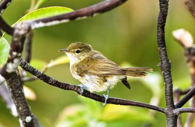 """The Seychelles Warbler was on the list of critically endangered species but local efforts have seen it removed from that group and it is now only listed as """"endangered"""""""