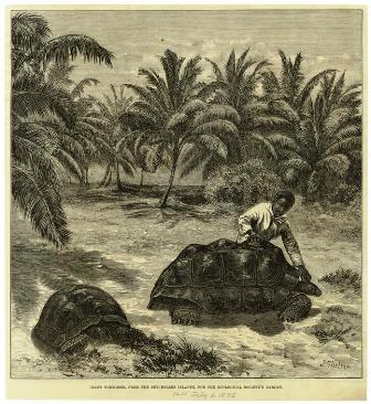 An old print showing Aldabra Giant Tortoises, from an 1875 issue of The Illustrated London News