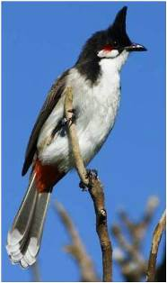 The Red-whiskered bulbul (Pycnonotusjocosus)