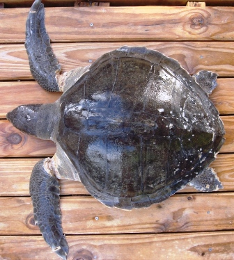The shell of an olive ridley is much wider than that of either a hawksbill or a green turtle. Notice the damage at the base of the front flippers.The turtle had probably been struggling in the net of the FAD for a long time before it drowned