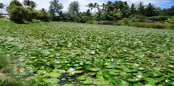 Left uncontrolled, water lilies become an invasive weed as this picture of the Valmer Wetlands at Baie Lazare shows