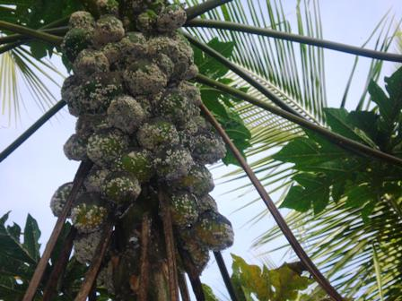 An infected papaya tree