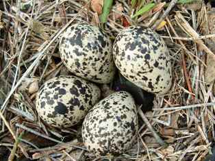 Birds' eggs, considered a delicacy among the population, will not be available this year