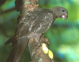Could Farquhar have played home to the Black Parrot's ancestors?